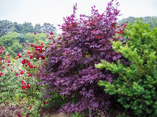 Acer Palmatum - Bloodgood